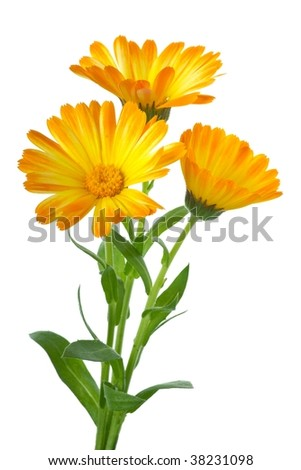 Herbs: Three calendula flowers isolated on the white background