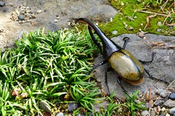 Hercules beetle in South America
