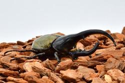 Hercules beetle in South America