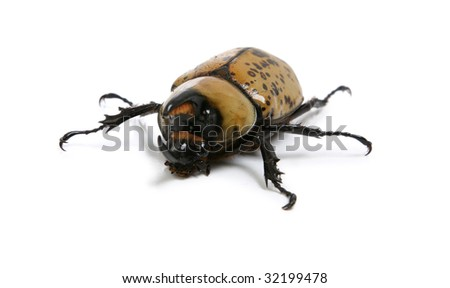 Hercules Rhino Beetle