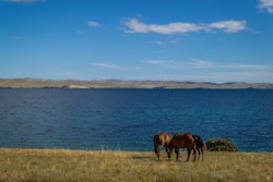 herd bay brown horses and red foal graze on grass coast, against the background of blue lake baikal, mountains on horizon