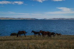 herd bay brown horses and red foal run on grass coast, against the background of blue lake baikal, mountains on horizon