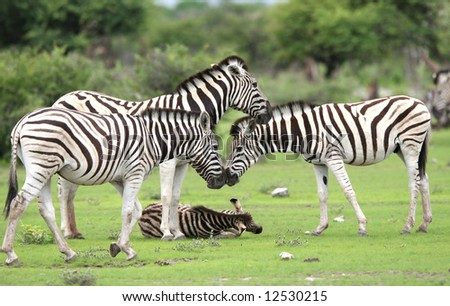 Herd Burchell's zebras in a grassland.  Etosha National Park. Namibia