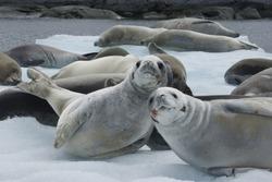 Herd crabeater seals on the ice of Antarctica.