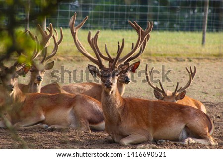 Herd Deer Stags with Antlers #1416690521
