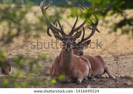 Herd Deer Stags with Antlers #1416690524