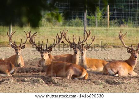 Herd Deer Stags with Antlers #1416690530