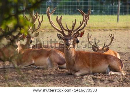 Herd Deer Stags with Antlers #1416690533