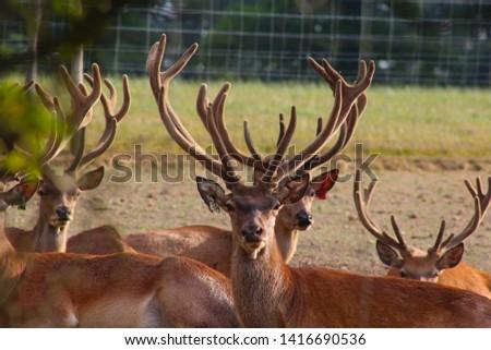 Herd Deer Stags with Antlers #1416690536