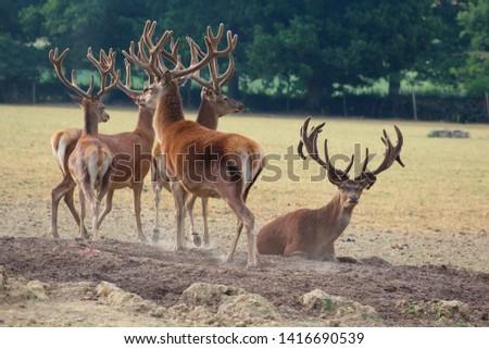Herd Deer Stags with Antlers #1416690539