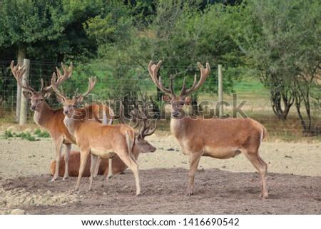 Herd Deer Stags with Antlers #1416690542
