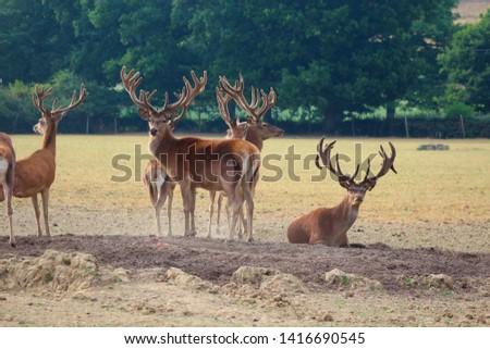 Herd Deer Stags with Antlers #1416690545