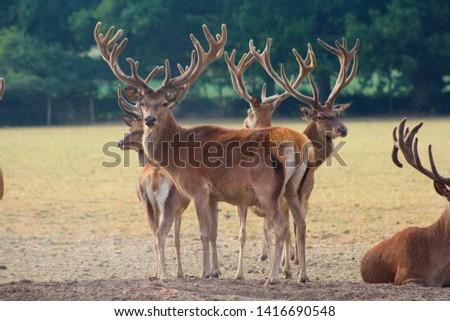 Herd Deer Stags with Antlers #1416690548