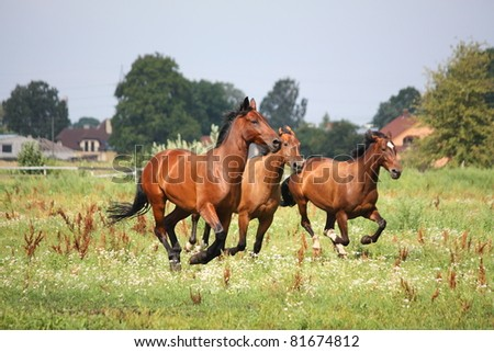 Herd galloping at the field