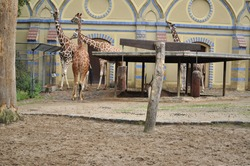 herd giraffes in a zoo stands on the grass extends a long neck building in background in zoo