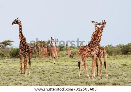 Herd giraffes in the African savannah on background bushes, Serengeti National Park, Tamzania.