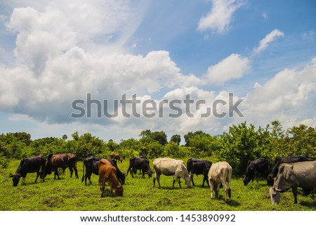 herd of Afican cows stand on the grass near tall bushes on a sunny day and dont looking at camera and eating grass #1453890992