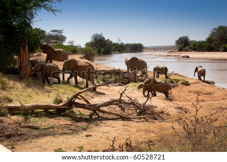 Herd of African elephants climb out of cooling river.