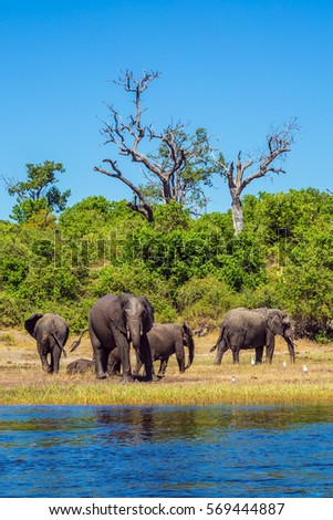 Herd of African elephants crossing river in shallow water. The concept of active and exotic tourism. Watering in the Okavango Delta. Chobe National Park in Botswana #569444887