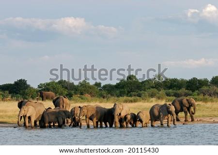 Herd of African elephants (Loxodonta africana) at a waterhole, Hwange National Park, Zimbabwe, southern Africa