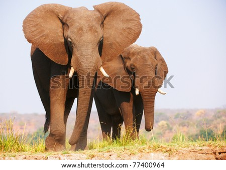 Herd of African elephants (Loxodonta Africana) standing in savannah in Botswana