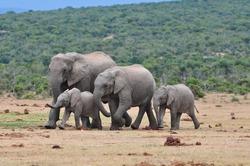 Herd of African Elephants walking