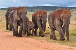 Herd of African Elephants walking herd