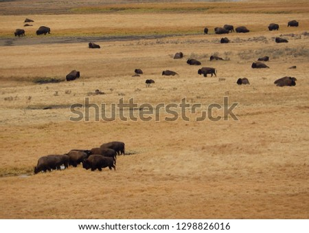 Herd of American bison at Yellowstone National Park in Wyoming
