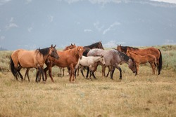 Herd of American Quarter Horses in the Dryhead area of Montana in front of the Pryor Mountains