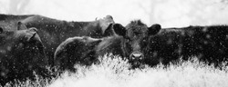 Herd of angus cattle through winter snow in black and white, horizontal banner with shallow depth of field.