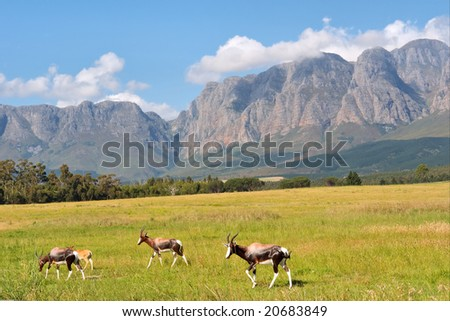 Herd of antelopes against amazing mountains. Shot in Hottentots-Holland Mountains nature reserve, near Somerset West/Cape Town, Western Cape, South Africa. #20683849