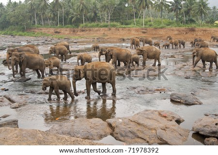 Herd of asian elephants bathing in the Maha Oya river at the Pinnawela Elephant Orphanage in Sri Lanka