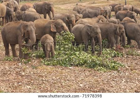 Herd of asian elephants feeding on freshly cut branches at the Pinnawela Elephant Orphanage in Sri Lanka