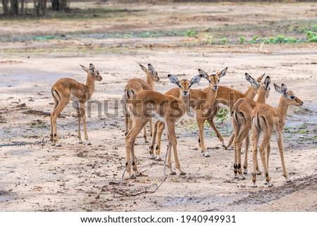 Herd of babies impalas in Zim Zdjęcia stock ©