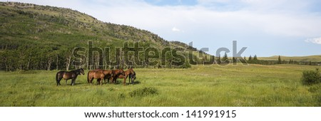 Herd of bay colored horses in mountain pasture