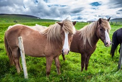 Herd of beautiful horses grazes in the green tall grass of the Icelandic tundra. Golden summer sunset. Only one breed of horse lives in Iceland. Ecological, active and photo tourism concept