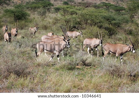 Herd of Beisa Oryx on the Masai mara