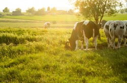 Herd of belgian blue cows graze on the open green meadows at sunset.