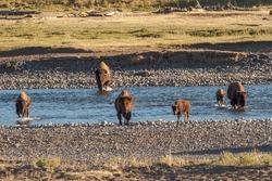 Herd of Bison crossing a river