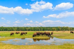 Herd of bison drinking water and grazing on grassland, Poland