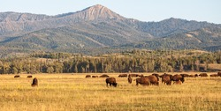 Herd of Bison grazing in the plains in the Grand Teton National Park, WY, USA