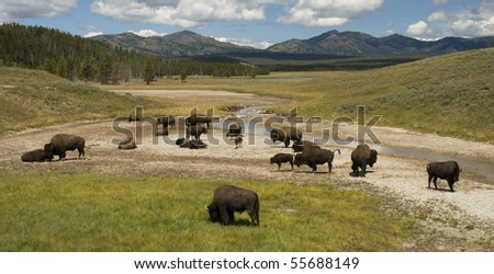 herd of bison in yellowstone's hayden valley