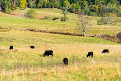 Herd of black and brown cows grazing far distant on pasture staring in Virginia farms countryside meadow field with green grass in Alleghany or Bath county