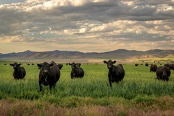 Herd of Black Angus cattle in grass field with evening sky