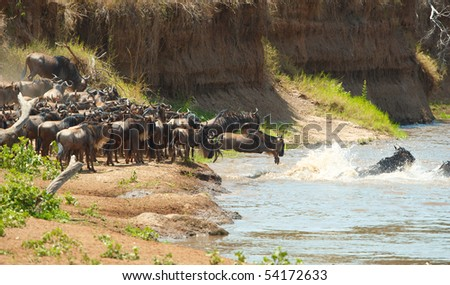Herd of Blue Wildebeest (Connochaetes taurinus) crossing the river in nature reserve in South Africa