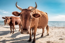 herd of brown cows on the beach