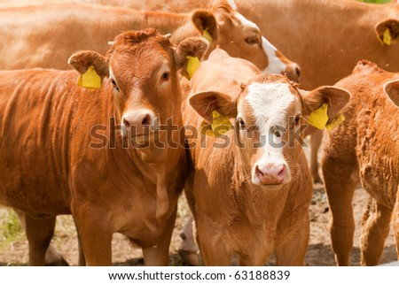 Herd of brown cows with labels on ears
