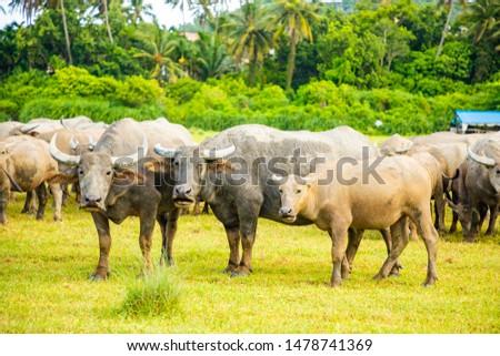 Herd of buffalo, original ecological stocking animals, Hainan, China