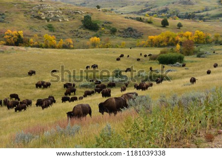 Herd of buffalo roaming and grazing the prairie of North Dakota.  dakota..