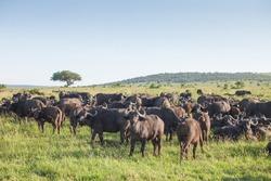 Herd of buffaloes in National Park Masai Mara, Kenya.